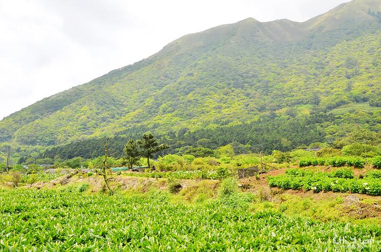 2012竹子湖海芋季23.jpg