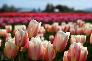 2012 Tulip Festival @ Tulip Town, Skagit City
