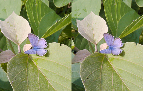 Lampides boeticus, stereo parallel view