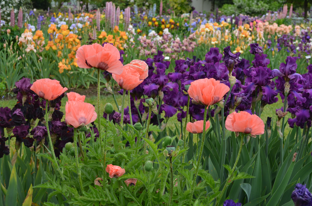 poppy_iris_beds_of_flowers