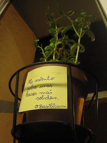 planta albahaca trasplantar tiesto de barro mas grande