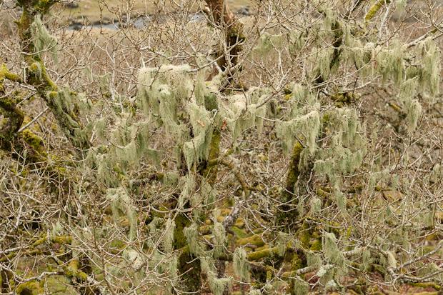 Beard Moss