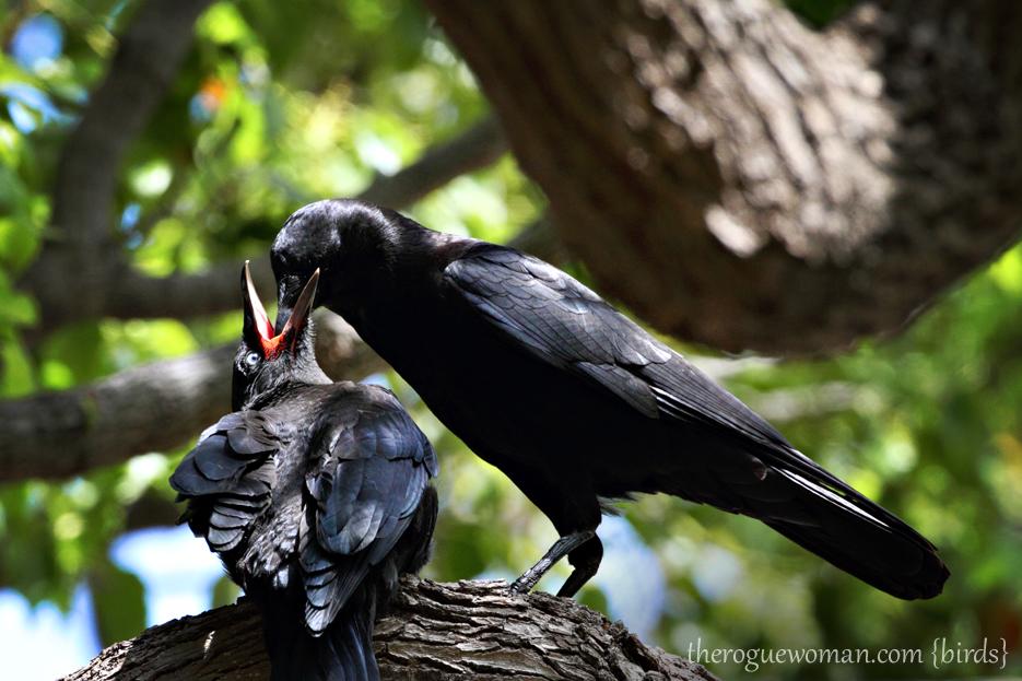 050912_crow01