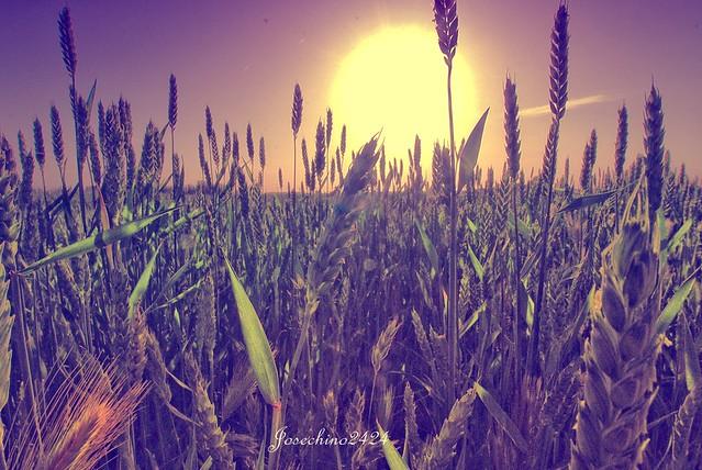 Amanecer en el trigo