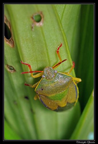 Punaise du genêt (Piezodorus lituratus)