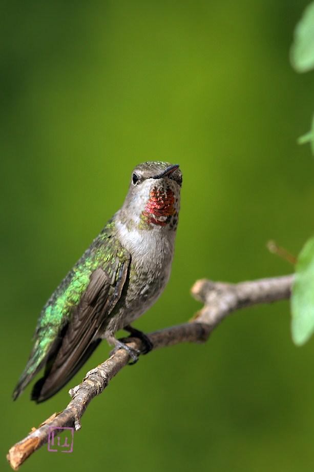 Anna's Hummingbird 051812-2