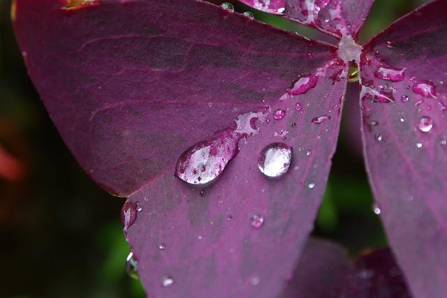 紫色醡醬草
