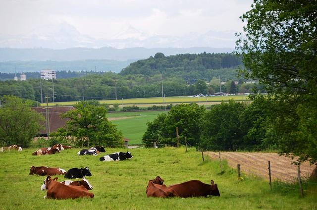 Cows in a field in Felbrunnen