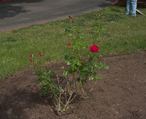 Red Rosebush, with Gardener