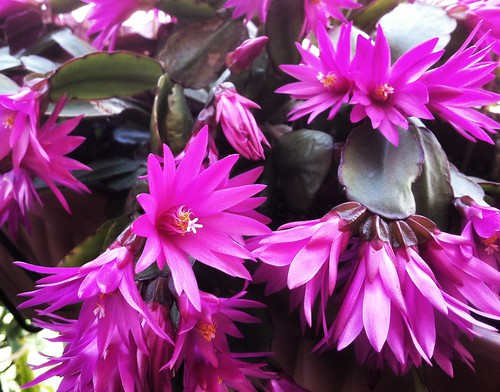 Easter Cactus by torresk