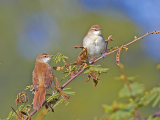 Curutié - Yellow-chinned Spinetail - (Certhiaxis cinnamomeus)