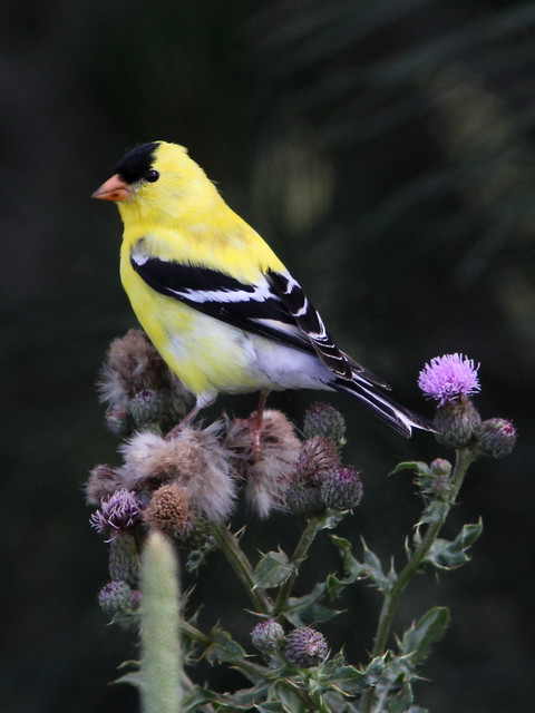 American Goldfinch on thistle 20120601