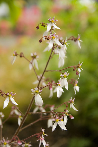 Saxifraga stolonifera bloom