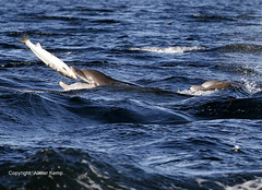 Bottlenose Dolphin - Chanonry point