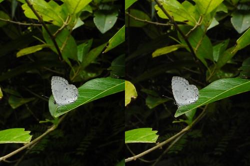 Megisba malaya, stereo parallel view