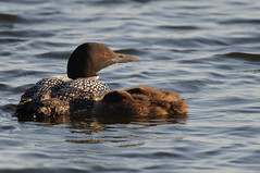 Loon Naptime_7270.jpg by Mully410 * Images