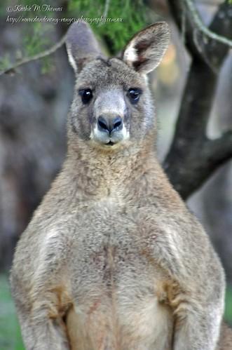 Male Eastern Grey Kangaroo - big boy