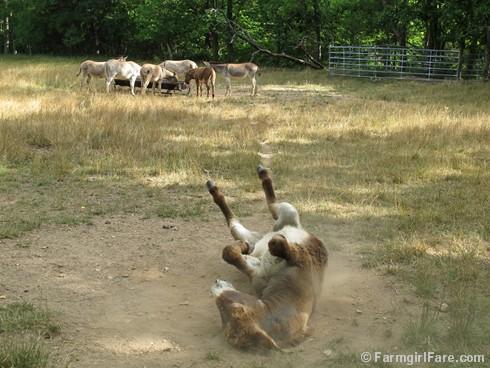 Donkey Doodle Dandy takes a dust bath (4) - FarmgirlFare.com