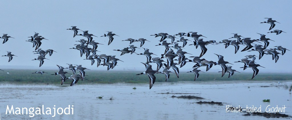 Black-tailed Godwit........ Marvels of Mangalajodi Marshland