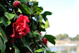 The flowers of the camellia in Nagoya castle.