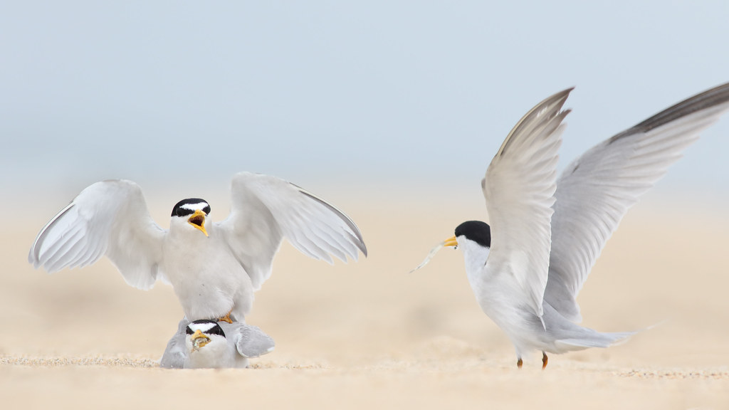 Least Tern Courting/Mating Series 10/10