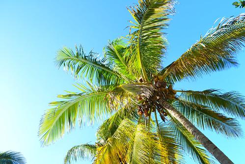 Varadero- coconut palmtree