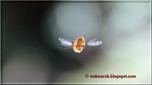Bee Fly IMG_7671
