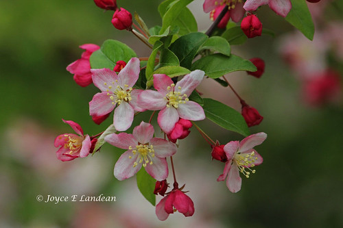 Apple Blossoms_IMG_9768m-20L