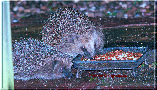 Adult and Juvenile Hedgehogs