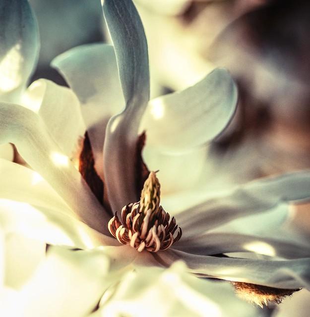~ mesmerising magnolia ~