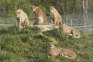 Cheetah family group