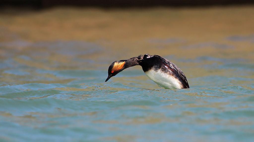 黑頸鸊鷉=繁殖羽