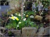 daffodils underneath a weeping cherry