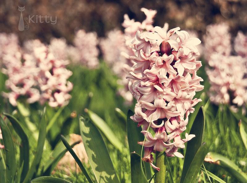 Garden Hyacinths