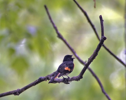 An American Redstart sings from his perch deep within the Chippewa Flowage Watershed. Photo by Eric Olsen.