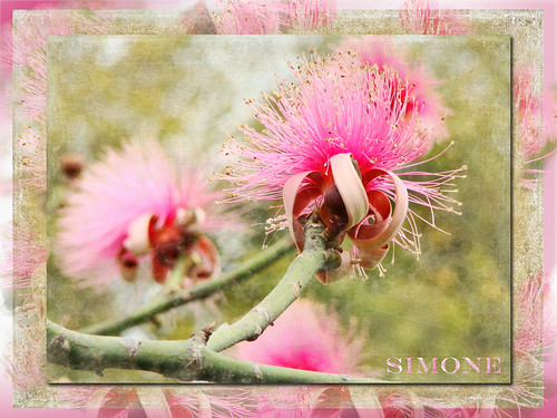 travel pink flowers flower tree green texture fleur photoshop spring digitalart frame vacations southflorida shavingbrushtree 20120329southflorida
