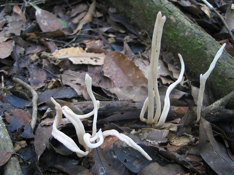 搬上陸地的珊瑚~~ 珊瑚菌