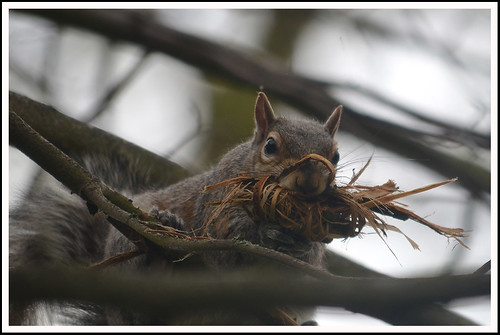 Squirrel Nest Building 03a