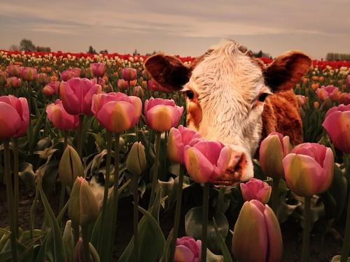 cows play peekaboo