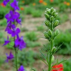 hyssopus, annual plant, flower, plant, wildflower, flora,