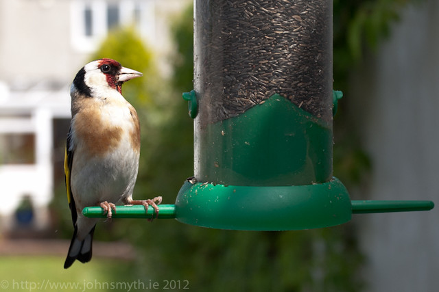 Goldfinch in Galway