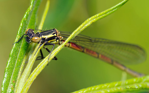 Large Red Damselfly by Andy Pritchard - Barrowford
