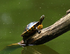 Did I hear the words Turtle Soup ? High Point City Lake - Guilford County North Carolina