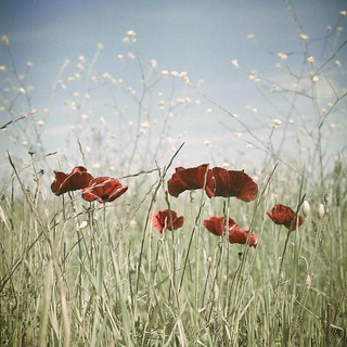 red poppies, green field, blue sky