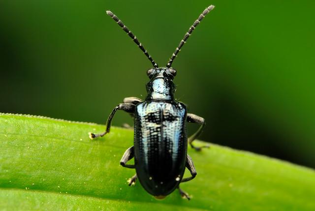 Lema concinnipennis