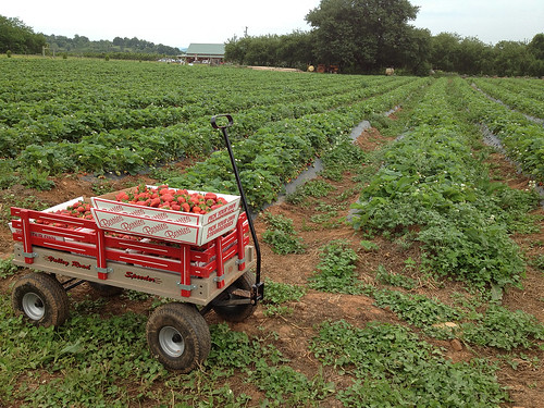Wagon in the berry patch