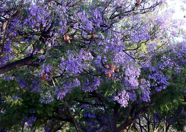 purple_blossom