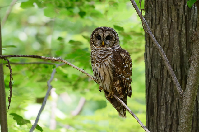 Feds to Kill Over 3,600 Barred Owls in 3 States