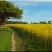 Rapeseed field in Fehmarn