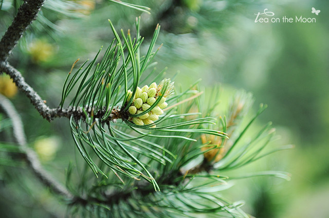 El olor del pino...